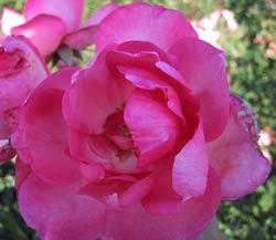 rosier centenaire de Lourdes