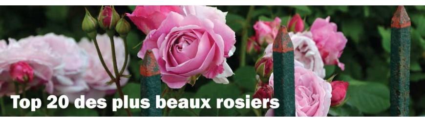 Top rosiers